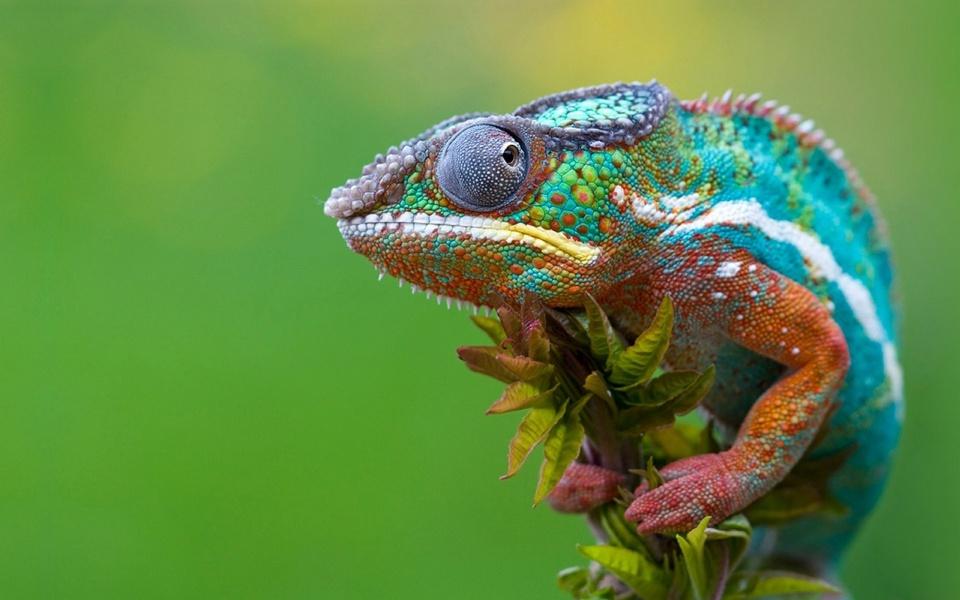 Colored-Chameleon