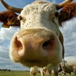 Віртуальна корова за реальні 16 тисяч гривень