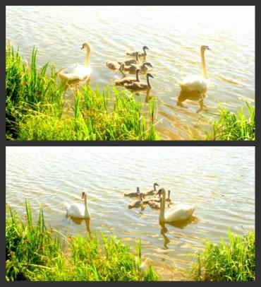 На озері в Шумську проживає красива родина (фото)