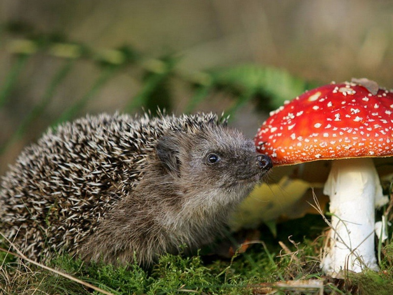 kartinki24_ru_animals_hedgehogs_0008