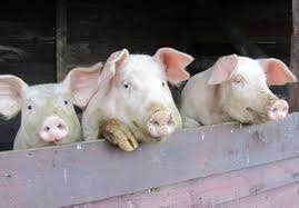 """Громадськість Ланівців та """"Правий Сектор"""" сьогодні знову боролись проти незаконної свиноферми"""