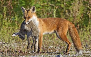 У Пронятині впіймали мисливця, який по-браконьєрське вполював зайця і лисицю