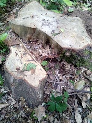 Лісника з Гусятинщини звільнено за приховування факту самовільної рубки дерев