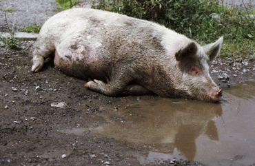 """Сьогодні в Збаражі розпочнеться """"революція проти свиней"""""""