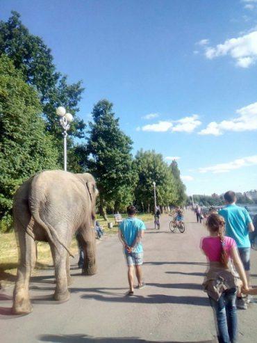 Тернополем гуляє слон