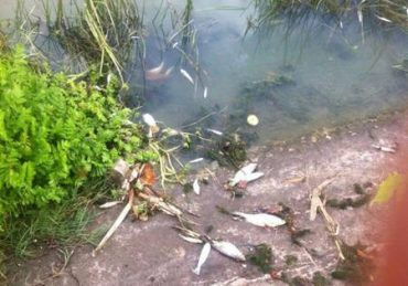 Як на Борщівщині отруїли рибу
