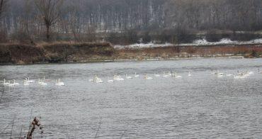 У Дністровському каньйоні зимує сотня лебедів