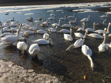 Відкрито реабілітаційні пункти по наданню допомоги хворим та травмованим водоплавним птахам