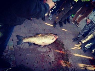 У Тернополі на озері рибалка впіймав білого амура вагою 14 кілограм