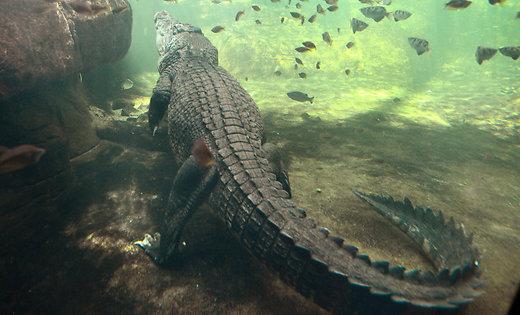 Лишилися тільки сандалі: крокодили з'їли пастора, який ішов поводі, як Ісус