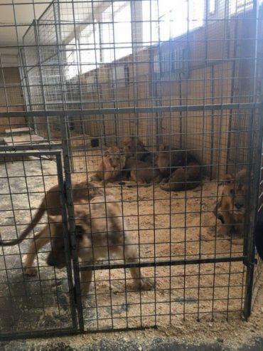Цирк – це жорстокість: від інфаркту та легеневої недостатності помер лев