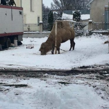 У Хоросткові мандрівний цирк викинув верблюда