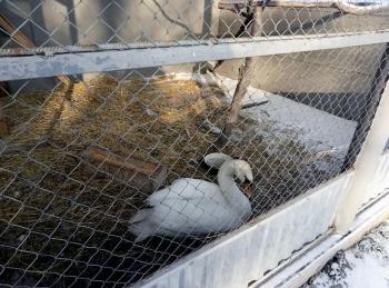 У Бучачі прихистили лебедя