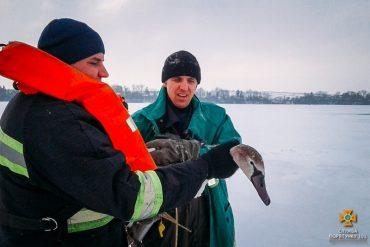 На Тернопільщині врятували пораненого лебедя