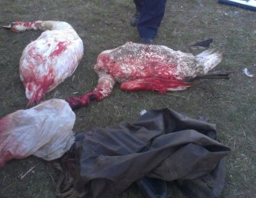 Шумські поліцейські розшукують браконьєрів, які застрелили двох лебедів