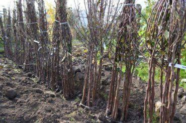 Двісті саджанців вкрали з приватного саду на Чортківщині
