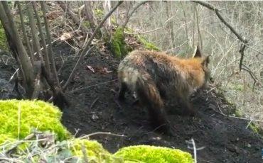 Як науковці рятували лисицю на Дністрі