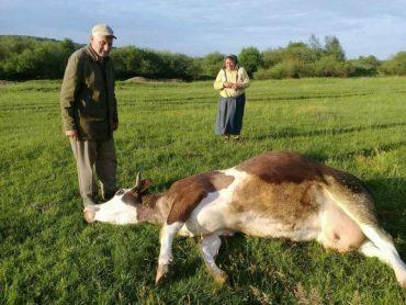 """Сьогодні в селі Мединя впало 16 корів після кроплення хімікатами полів з пшеницею агрохолдингом """"Мрія"""""""