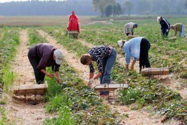Польські фермери не можуть зібрати урожай полуниці без українських заробітчан