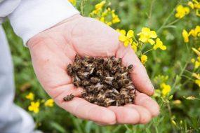 У Збаразькому районі масово загинули бджоли