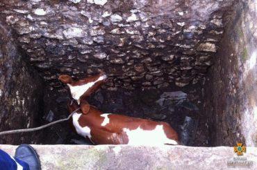 У Збаразькому районі рятували корову