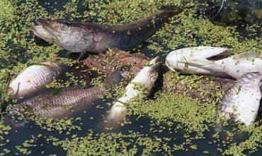 У вітчизняних водоймах масово гине риба