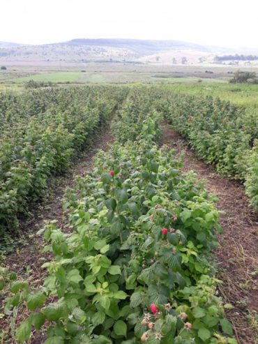 Про малиновий бізнес в Україні
