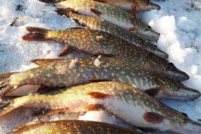 Тернопільським рибоохоронним патрулем вилучено 59 кг незаконно добутої риби