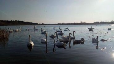 Лебедине озеро в Бережцях